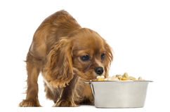Cavalier King Charles Spaniel puppy eating from a bowl Royalty Free Stock Images