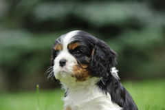 Cavalier king charles spaniel puppy Stock Images