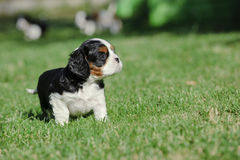 Cavalier king charles spaniel puppy Royalty Free Stock Photos