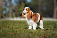 Cavalier king charles spaniel puppy outdoors Stock Photo