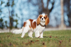Cavalier king charles spaniel puppy outdoors Royalty Free Stock Photos