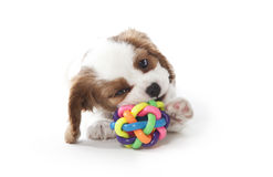 Cavalier king Charles Spaniel puppy. Playing with ball Stock Photography