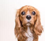 Cavalier King Charles Spaniel Puppy Portrait royalty free stock photo