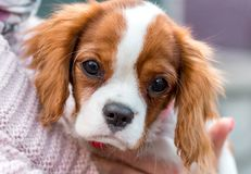 Cavalier King Charles Spaniel  puppy portrait close-up Royalty Free Stock Photography