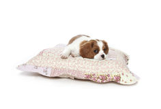 Cavalier king Charles Spaniel puppy. Resting on pillow Royalty Free Stock Photo