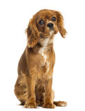 Cavalier King Charles Spaniel puppy sitting, facing, 5 months old Royalty Free Stock Image