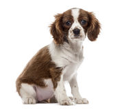 Cavalier King Charles Spaniel puppy sitting, looking at the camera Stock Image