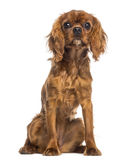 Cavalier King Charles Spaniel puppy sitting (5 months old) Royalty Free Stock Photography