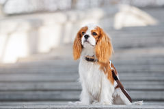 Cavalier king charles spaniel puppy sitting outdoors Royalty Free Stock Photo