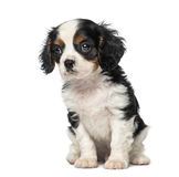 Cavalier King Charles Spaniel puppy (8 weeks old) Royalty Free Stock Image