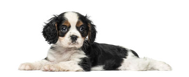 Cavalier King Charles Spaniel puppy (8 weeks old) Stock Images