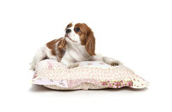 Cavalier king Charles Spaniel. Resting on pillow Royalty Free Stock Images