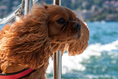 Cavalier King Stock Image