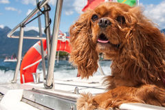 Cavalier King. Charles spaniel ruby Stock Photography