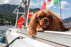 Cavalier King. Charles spaniel ruby Stock Photos