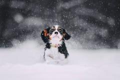 Cavalier king charles spaniel runs in the snow