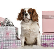 Cavalier King Charles Spaniel, sitting Stock Photos