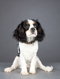 Cavalier King Charles Spaniel sitting and looking up Stock Photos