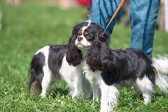 Cavalier King Charles Spaniel is a breed of companion dogs, a sm. Cavalier king charles spaniel. Space under the text. Concept: parodist dogs, dog friend of man stock images
