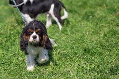 Cavalier King Charles Spaniel is a breed of companion dogs, a sm. Cavalier king charles spaniel. Space under the text. Concept: parodist dogs, dog friend of man royalty free stock photos