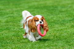 Cavalier King Charles spaniel standing on green field. royalty free stock photography