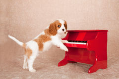 Cavalier King Charles Spaniel standing up against red toy piano on beige background Royalty Free Stock Image