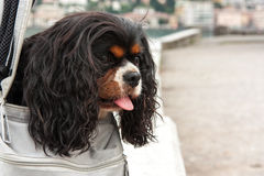 Cavalier King. Charles spaniel tricolor Royalty Free Stock Images