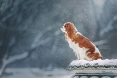 Cavalier king charles spaniel for a walk in winter