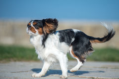 Cavalier King. Charles Spaniel with white, brown and black hair, runing fast Stock Photos