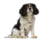 Cavalier king charles spaniel (5 years old) Stock Photo
