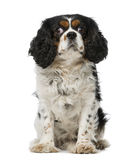 Cavalier king charles spaniel (5 years old) Royalty Free Stock Photo