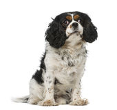 Cavalier king charles spaniel (5 years old) Stock Image