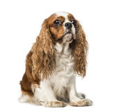 Cavalier King Charles Spaniel (4 years old) Stock Photos