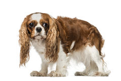Cavalier King Charles Spaniel (4 years old). Isolated on white stock photo