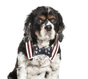 Cavalier King Charles Spaniel, 11 years old. Sitting in front of white background royalty free stock photos