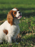 Cavalier King Charles Spaniel young dog sitting on the grass Royalty Free Stock Photography