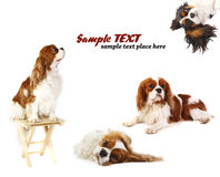 Cavalier King Charles Spaniels Royalty Free Stock Photo
