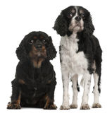 Cavalier King Charles Spaniels. 9 and 7 years old, in front of white background Stock Photo