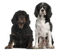 Cavalier King Charles Spaniels. 9 and 7 years old, in front of white background Royalty Free Stock Photos