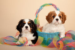 Cavalier King Charles Spaniels. Two Cavalier King Charles Spaniel puppies in blue basket with tie-dye patterned ribbon against beige studio background Royalty Free Stock Images