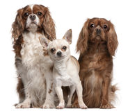 Cavalier King Charles Spaniels and Chihuahua stock images