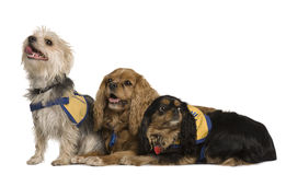 Cavalier King Charles Spaniels and a mixed-breed Stock Photography