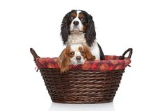 Cavalier King Charles spaniels in wicker basket Royalty Free Stock Images