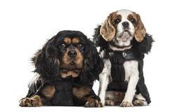 Cavalier King Charles Spaniels , 3 years old and 5 years old. Sitting against white background Stock Images