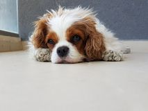 Cavalier King Charles spiniel lying on the balcony stock photo