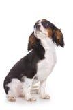 Cavalier King Charlies Spaniel Royalty Free Stock Image