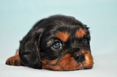 Cavalier  king  Dog  Charles   Puppy Cocker Royalty Free Stock Photos