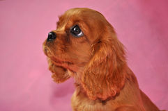 Cavalier  king  Dog  Charles   Puppy Cocker Royalty Free Stock Images