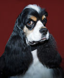 Cavalier king portrait Stock Images