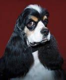 Cavalier king portrait Stock Images